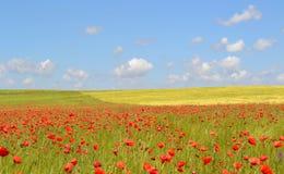 Maczków kwiatów pole Zdjęcia Stock
