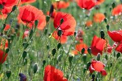 Maczków kwiatów wsi łąkowa wiosna obraz stock