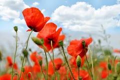Maczków kwiaty i lata niebo Zdjęcia Stock