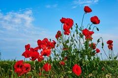 Maczków pola w Crimea fotografia royalty free