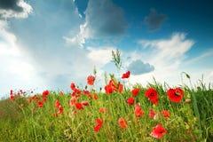 maczków polowych czerwone niebo Fotografia Royalty Free