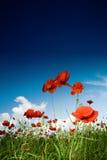 maczków polowych niebo Zdjęcie Stock