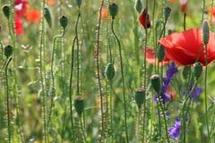 Maczka kwiatu wiosny sezonu natura obrazy stock