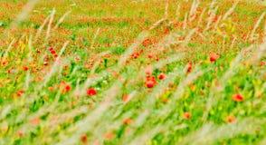 Maczka pole Zdjęcie Royalty Free