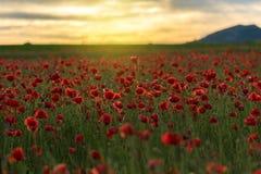 Maczka pole przy zmierzchem Zdjęcie Royalty Free