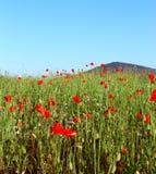 Maczka pole w lecie Zdjęcie Royalty Free