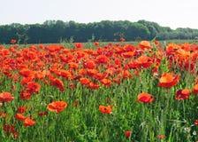 Maczka pole w lecie Obraz Royalty Free