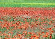 Maczka pole w lecie Fotografia Royalty Free