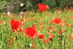 Maczka śródpolny czerwony kwiat Zdjęcie Stock
