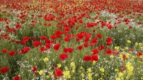 Maczki i dzicy kwiaty Obrazy Royalty Free