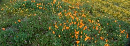 Maczki i Wildflowers, antylopy dolina, Kalifornia zdjęcie stock