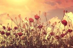Maczki pole i słońce Zdjęcia Stock