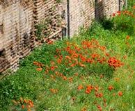Maczki wśród ruin w Rzym, Włochy Obrazy Royalty Free
