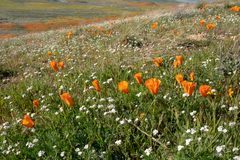 Maczki w antylopa maczka Dolinnej rezerwie w Lancaster Kalifornia, mieszający z białymi wildflowers podczas superbloom obraz stock