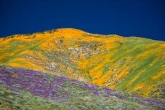Maczki w kwiacie po dżdżystej zimy w Kalifornia zdjęcie stock