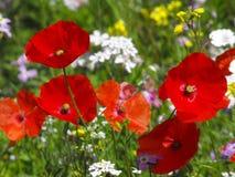 Maczki wśród dzikich kwiatów w lecie Fotografia Stock