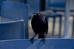 Mad Black Bird Stock Photo