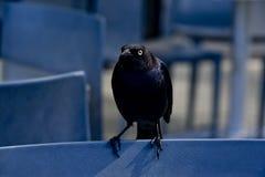 Mad Black Bird Stock Photo