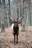 Mad bull elk Royalty Free Stock Photos