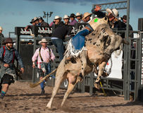 Mad Bull Professional Rodeo Bull Riding Royalty Free Stock Photos
