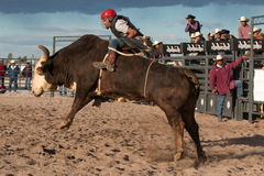 Mad Bull Professional Rodeo Bull Riding Stock Images