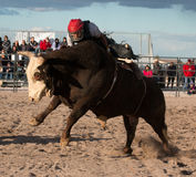 Mad Bull Professional Rodeo Bull Riding Royalty Free Stock Photo