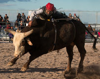 Mad Bull Professional Rodeo Bull Riding Royalty Free Stock Images