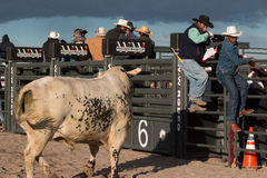 Mad Bull Professional Rodeo Bull Riding Stock Image