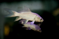 Mad carp, Sultan fish Stock Photography