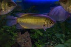 Mad carp, Sultan fish Stock Photos