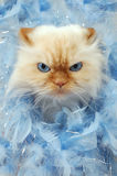 Mad Cat. The Head of a Persian cat sticking it's head out of blue feathers. Angry, irritated face of a cat Royalty Free Stock Photos