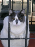 Mad Cat behind Bars. Cat in jail, Too fat to escape. behind Bars Stock Photography