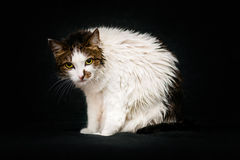 Mad cat with bright amber eyes and wet hair after bathing. Sitting on sofa and looking at camera. Sad wet cat after shower, black background royalty free stock photo