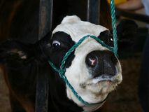 Mad cow. Wild eyed foaming at the mouth mad or angered cow being groomed for show stock images