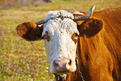 Mad cow. A curious mad blind caw Stock Images