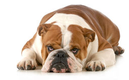 Mad dog. English bulldog laying down with sour expression isolated on white background Royalty Free Stock Photos