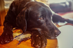 Mad dog. Labrador relax on the floor Royalty Free Stock Photos