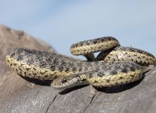 Mad garter snake Stock Photos