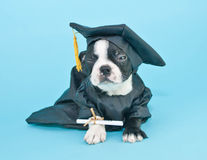 Mad Graduation Puppy Stock Photography