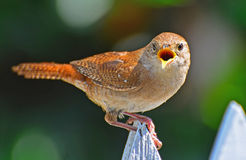 Mad House Wren Royalty Free Stock Photo