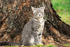 Mad Kitty. Aggravated tabby male tomcat sits sullenly under a tree stock photography