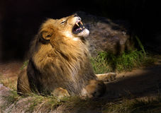 Mad Lion. Great Shot of the king of The jungle Royalty Free Stock Photo