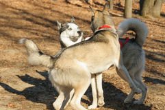 Mad meeting of two huskies Stock Image