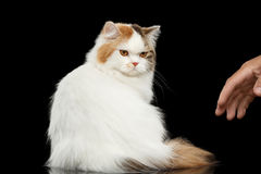 Mad Scottish Highland Straight Cat Angry Looks, Isolated Black Background Stock Photography