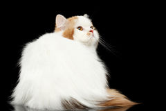 Mad Scottish Highland Straight Cat Looking up, Isolated Black Background Stock Photography