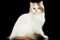 Mad Scottish Highland Straight Cat Sitting, Isolated Black Background Stock Photo