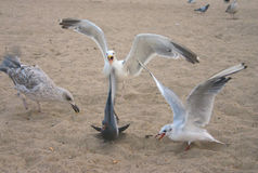 Mad seagull Stock Image