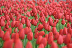 Mad about tulips. A bush of some tulips royalty free stock photography