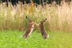 Mad wild hares boxing and fighting in Norfolk UK royalty free stock image