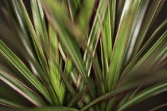 Madagáscar Dragon Tree imagens de stock